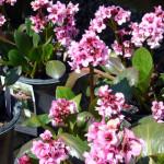 bergenias_blooming