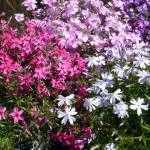 creeping_phlox_mix