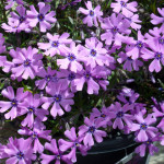 purple_phlox