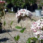 viburnum_blooming