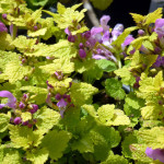 yellow_dead_nettle