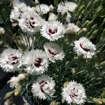 dianthus_white