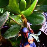 fet_jade_succulent