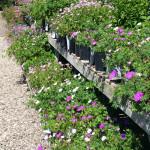 geraniums_assorted