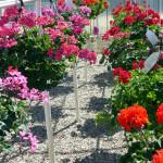 geraniums_gd1