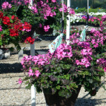 hanging_baskets
