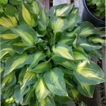hosta_front_table