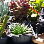 maul_succulents