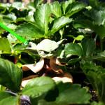 yoda_strawberries