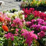 annual_geraniums