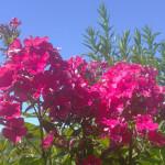 gardenphlox2