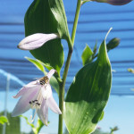 hosta_bloom2