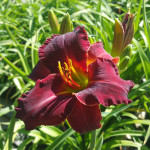 red_daylily