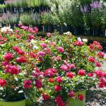 roses_veronicas