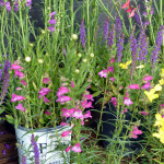 salvia_beardtongue_primerose