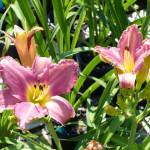 daylilies_lavender