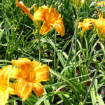 daylilies_orange