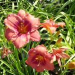daylilies_pink