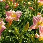 daylilies_pink3