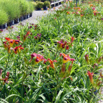 daylilies_red
