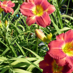 daylilies_red2