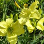 daylilies_yellow
