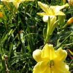 daylilies_yellow2