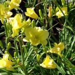 daylily_yellow