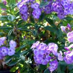 garden_phlox