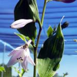 hosta_bloom2