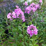 gardenphlox