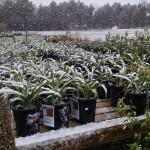 snowy_daylilies
