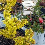 shrubs_front