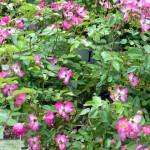 shrub_rose