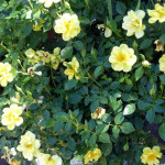 roses_yell