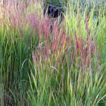 grasses2
