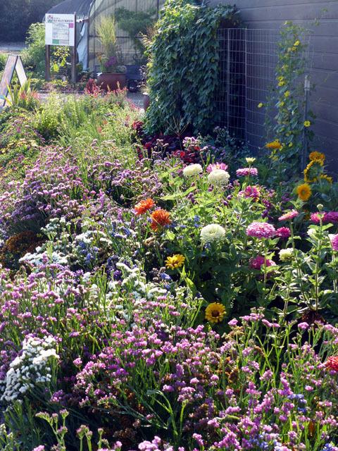 Annual Gardenbed Sedums Coreop Bluebeard Gres