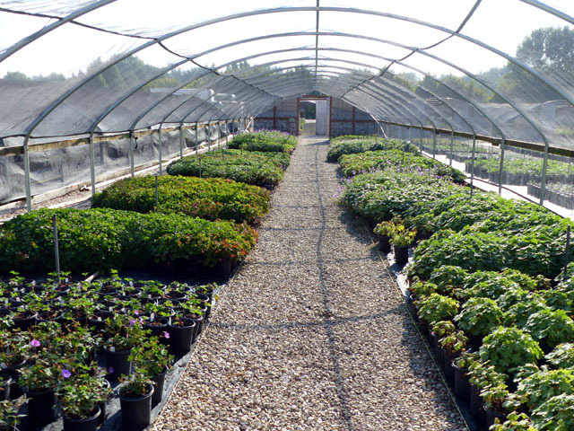 Erflybush Greenhouse Hellen Soli Groundcovers Hostas